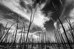 (AWLancaster) Tags: landscape monochrome bw hdr clouds 7d wetlands winton swamp bush trees old beautiful photowalk outdoors