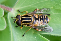 """Syrphidae Helophilus pendulus -Hélophile suspendu - Sun Fly • <a style=""""font-size:0.8em;"""" href=""""http://www.flickr.com/photos/127043019@N02/38482943152/"""" target=""""_blank"""">View on Flickr</a>"""