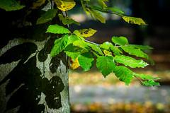 Nature in Autumn (Elowi) Tags: nature natur leaves blätter green grün tree baum forest wald struktur structure colors autumn autumncolors farben herbst light shadow licht schatten sony sonyalpha alpha6000 alpha sel90m28g makro macro