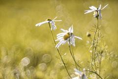 Hunting last Flowers (michel1276) Tags: trioplan10028 trioplan meyergörlitz meyeroptik meyer bokeh bokehlicious flower flowers flora bubbles autumn herbst blume