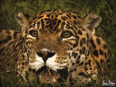 hunter (Sam Petar) Tags: animale green iraq nikon baghdad nature leopard photograph p510 photoshop