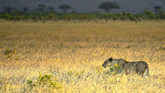 Hungry (jay_kilifi) Tags: safari wild kenya grass free tsavo tsavoeast lion hunting