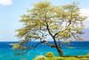 Because of You (Thomas Hawk) Tags: hawaii maui wailea tree fav10 fav25 fav50