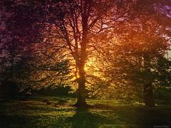 Summer tree (Gustav Edgar) Tags: twilight forest woods trees tree backlit sunset sunlight sun light naturephotography nature
