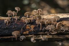 Marasmiellus ramealis - Marasme des rameaux (Vincent L°) Tags: france lussacleschâteaux nouvelleaquitaine poitoucharentes vienne basidiomycete fungi macro mycologie photonaturaliste photographie sortiemycologique