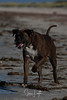 2017 - 11_25 - Portrait - Animals - Dogs - Sushi_Angus 06 (stevenlazar) Tags: beach ocean water australia dog outerharbor adelaide sand 2017 southaustralia waves