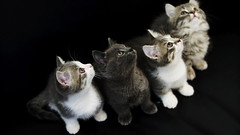 _DSC5096SCU 40/2 (barryleung28) Tags: cat cats cateye pet catportrait feline gatto gato love sweet tenderness tenerezza tenero gattino dolce adorable cutie kitten happy pets kat katt mio gattuso
