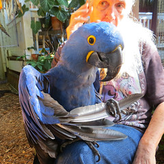 Key West (Florida) Trip 2016 2730Ri sq (edgarandron - Busy!) Tags: florida keys floridakeys keywest bird birds macaw macaws nancyforrester nancyforresterssecretgarden secretgarden
