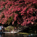 Girls and maples at Koishikawa Korakuen Garden (小石川後楽園)