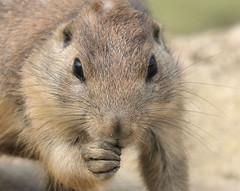 Prairie dog (Duevel) Tags: prairiedog rodent knaagdier zoo dierentuin fz2000 munching prairiehond