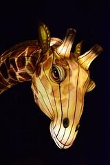Síoraf (Keith Mac Uidhir 김채윤 (Thanks for 5m views)) Tags: wild lights light dublin zoo dublino dublín ireland ierland irlanda irlande irland irsko irlanti irska irlandia írország írẹ́lándì irish china chinese lanterns asia asian night colour color colorful colourful culture park bright