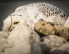 You can't see me! (Dr. Farnsworth) Tags: bird large owl snowy snowyowl wastewater treatment plant muskegon mi michigan fall november2017