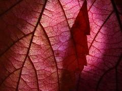 Hazel leaves - Haselnussblatt (water castle) Tags: 7dwf haseĺnuss hazelnut blatt blätter herbst herbstlaub herbstbunt autumn bunt colorful leaf leaves red rot