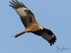 Red Kite at Nene Park 01/12/17. (johnatkins2008) Tags: redkites raptors birdsofprey flight flying nenepark ferrymeadows johnatkins2008 birds wildlife photography