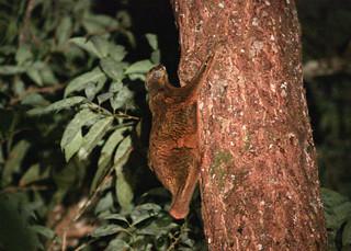 Colugo (Galeopterus variegatus, Cynocephalidae)