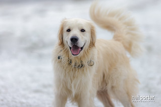 Goldie in the snow