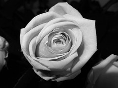 Juste une rose !!! (François Tomasi) Tags: fleur flower rose monochrome blackandwhite noiretblanc reflex nikon light lumière pointdevue pointofview pov yahoo google flickr françoistomasi tomasiphotography photo photographie photography photoshop filtre digital numérique touraine indreetloire france europe lanouvellerépublique garden jardin nature campagne décembre 2017