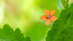 Flowers-42 (niekeblos) Tags: flower tiny little nature macro bokeh canon60d
