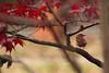Carolina Wren in Fall Japanese Maple (brandon_gerringer) Tags: carolinawren wren bird birdphotography thryothorusludovicianus urban japanesemaple red maple tree wildlife nature naturephotography