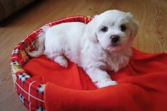 let mi introduce... (green_lover) Tags: puppy dog dogs pets fela maltese white animals 7dwf