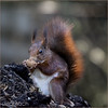 USA_5644 (Weinstöckle) Tags: eichhörnchen nuss walnuss
