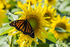 Monarch (londa.farrell) Tags: 2017 august canada canon canondslr canoneos7dmarkii dslr hantscounty novascotia butterfly daytime farm field monarch outdoor summer sunflowermaze sunflowers falmouth