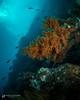 The Wall at Punta Vicente Roca, Galapagos (hk.underwater) Tags: diving isabelaisland scubadiving tauchen underwater ecuador corals animals islaisabela seacreatures galapagos
