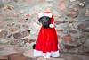 49/52 Nemo (- Una -) Tags: 52weeksfordogs nemo curly curlycoatedretriever ccr retriever curlydog dog animal blackdog blackcurlycoatedretriever