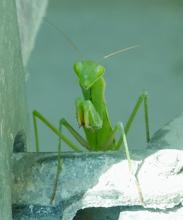 A pretty curious praying mantis