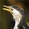 Little shag (Foto Martien) Tags: littlepiedcormorant littleshag kawaupaka australianshag frilledpiedcormorant frilledshag littlecormorant littleblackandwhitecormorant littlerivercormorant whitethraotedcormorant kleinebonteaalscholver australischedwergaalscholver kräuselscharbe cormoranpie cormoranpygméedaustralie cormoránaustraliano cormoránpiquicorto biguáalvinegropequeno cormoranobianconerominore marangoneminoreaustraliano marangoneminorebiancoenero pecukpadibelang manugitai deroech малыйпестрыйбаклан малыйпёстрыйбаклан shiroharakobitou シロハラコビトウ 小斑鸬鹚 kormoranbiałolicy phalacrocoraxmelanoleucos microcarbomelanoleucos bird vogel fisheater viseter waterbird watervogel pray predator australia newzealand indonesia irianjaya papuanewguinea solomonislands newcaledonia tropical tropisch zoo dierentuin koninklijkeburgerszoo dierenpark arnhem gelderland netherlands nederland holland dutch geotag gps sonyalpha77 slta77v a77 77v a77v tamron70300mmf456sp martienuiterweerd fotomartien