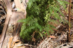 Filmy Fern (Abrodictyum caudatum) (Poytr) Tags: abrodictyumcaudatum abrodictyum arfp nswrfp qrfp vrfp arffern middlebrothermountain kendall portmacquarie subtropicalarf subtropicalarfp fern cyathea cyathealeichhardtiana rainforest filmyfern arfepiphyte