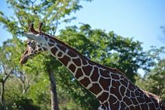Reticulated Giraffe (Giraffe camelopardalis reticulata) (ACEZandEIGHTZ) Tags: reticulated nikon d3200 miami zoo zoomiami metrozoo dadecounty tallest savannah specanimal coth5