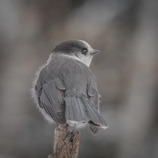 Mésangeai du Canada  -  Gray Jay  -  Explore 17 décembre 2017