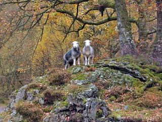 Inquisitive Herdwick sheep in autumnal Ullswater, Lake District. UK
