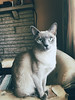 Lady Griddlebone (deebones) Tags: cat iphonex iphone tonkinese candid snapshot indoor kitten lady griddlebone