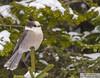 Mésangeai du Canada (eric marceau) Tags: anima bird animal gray jay quebec canada boreal pine winter