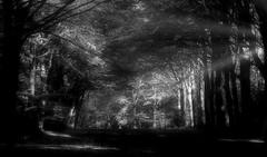 Lighting the gloom (Colin-47) Tags: avenue trees sunlight blackwhite norfolk woodland forest winter 2017 eastanglia colin47 panasonicdmcg80 lumixgvario1260mmf3556asph november m43 microfourthirds lightingthegloom