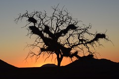 The Other Tree (The Spirit of the World ( On and Off)) Tags: sunset evening sun light southafrica africa landscpae tree unusual wild wilderness gamedrive madikwe gamereserve mystery nature weavernests nests