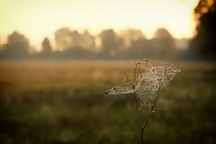 What I love (pszcz9) Tags: przyroda nature natura jesień autumn fall wschódsłońca sunrise rosa dew pajęczyna spiderweb cobweb pejzaż landscape bokeh beautifulearth sony a77