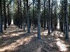 In the pine grove (Shotaku) Tags: harc pines forestry forests pinemulch trees research
