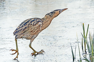 The Bittern. (Botaurus stellaris).