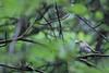 Summer memories. 2 (Laima B.) Tags: birds bird birdphotography birdwatching birdlover beautiful birding summer memories forest green nature outdoors ecologist biologist canon canon600d 55250 phylloscopus warbler passerine eating