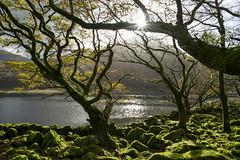 Autumn sunlight at Cwm Bychan (Keartona) Tags: cwm bychan cwmbychan llanbedr trees branches sunlight autumn green rocks moss mossy lake scenery wales northwales snowdonia tree landscape