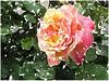 Als ein Hirsch hat Verlangen (amras_de) Tags: rose rosen ruža rosa ruže rozo roos arrosa ruusut rós rózsa rože rozes rozen roser róza trandafir vrtnica rossläktet gül blüte blume flor cvijet kvet blomst flower floro õis lore kukka fleur bláth virág blóm fiore flos žiedas zieds bloem blome kwiat floare ciuri flouer cvet blomma çiçek zeichnung dibuix kresba tegning drawing desegnajo dibujo piirustus dessin crtež rajz teikning disegno adumbratio zimejums tekening tegnekunst rysunek desenho desen risba teckning çizim