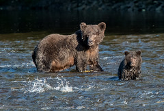 Grizzly Bear and cub (Tim Melling) Tags: ursusarctos horribilis grizzly bear cub fishing canada timmelling