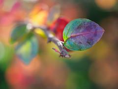 Autumn color pop (Karsten Gieselmann) Tags: 60mmf28 blätter bokeh dof em5markii gegenlicht grün herbst jahreszeiten lila mzuiko makro microfourthirds olympus orange rot schärfentiefe autumn backlight fall green kgiesel m43 macro mft purple red seasons violett