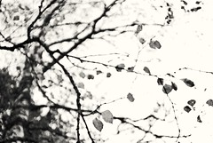 Tree abstract (Stefano Rugolo) Tags: stefanorugolo pentax k5 kepcorautowideanglemc28mm128 abstract tree birch branches foliage monochrome autumn bokeh vintagelens ethereal