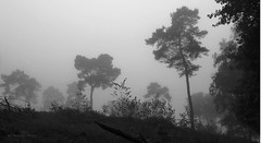 When Fog Rolls In (janneman2007) Tags: janneman2007 canon canon600d fog mist trees bomen nederland netherlands niederlande paysbas limburg herfst autumn zwartwit blackwhite bw landschap landscape landschaft landscapelovers nature natuur natur