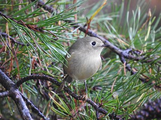 The kinglet that sat still for 30 seconds