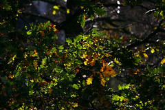 Autumnal Leaves (1selecta) Tags: autumn autumnal tree trees branch branches twig twigs leaf leaves green yellow yellowing orange red reds reddish brown browns ageing old golg golden cold warm day daylight sun sunny sunshine dark forrest woodland wood growing